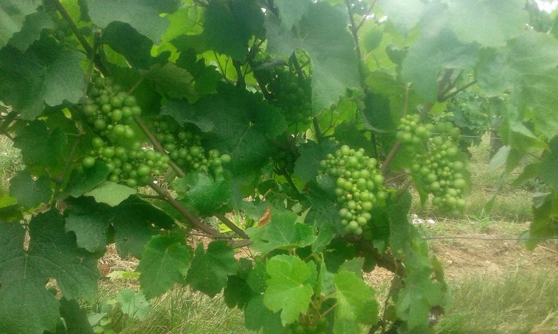 月中旬のボージョレ地区のファビアン・ロマニーの自社ブドウ畑
