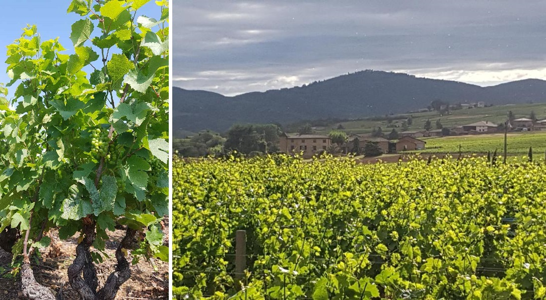 シャトー・ド・セルシーのワイン畑