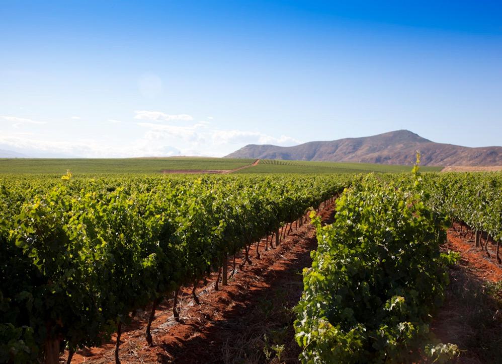 南アフリカワイン「ディステル」のワイン畑のブドウの樹