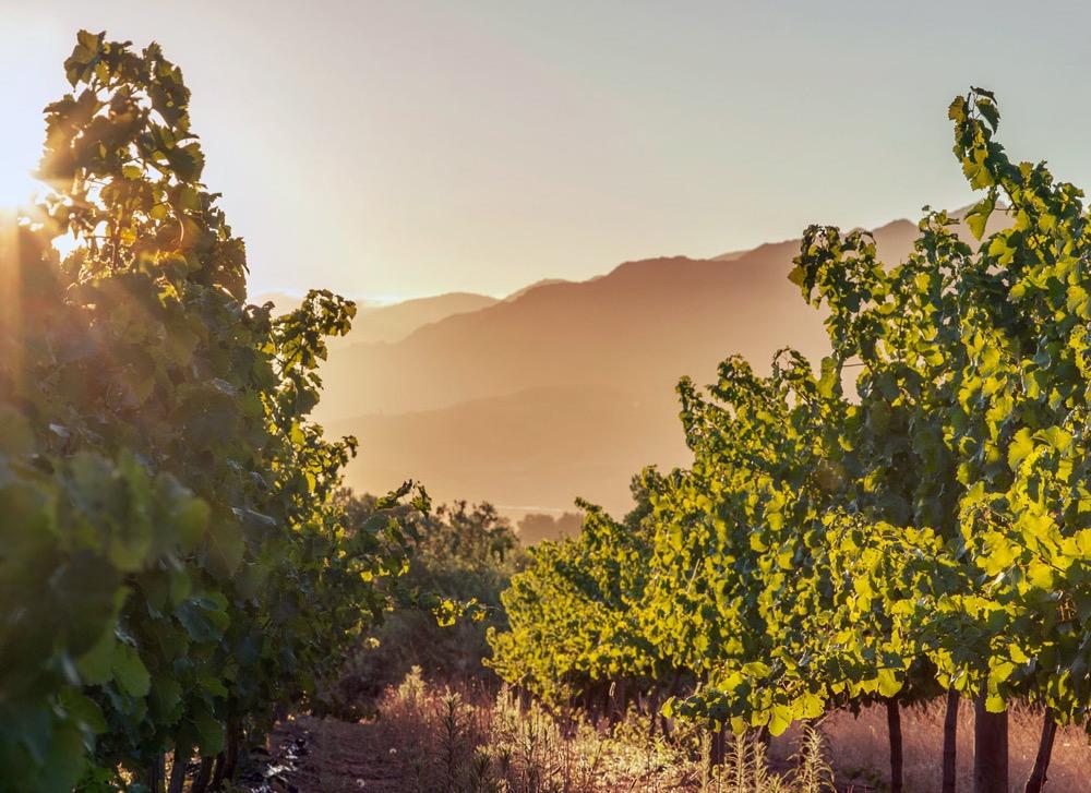 霧に包まれる南アフリカワイン「ディステル」のブドウ畑