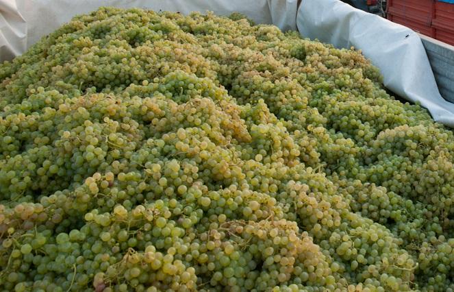 プロセッコに使用されるグレーラ種のブドウ