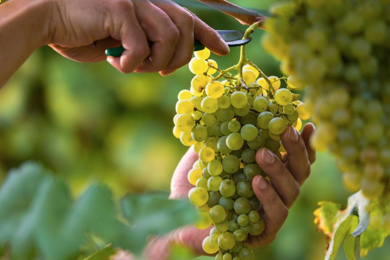 スキンコンタクトって何?独特の製法と最近注目を集めるオレンジワインをご紹介