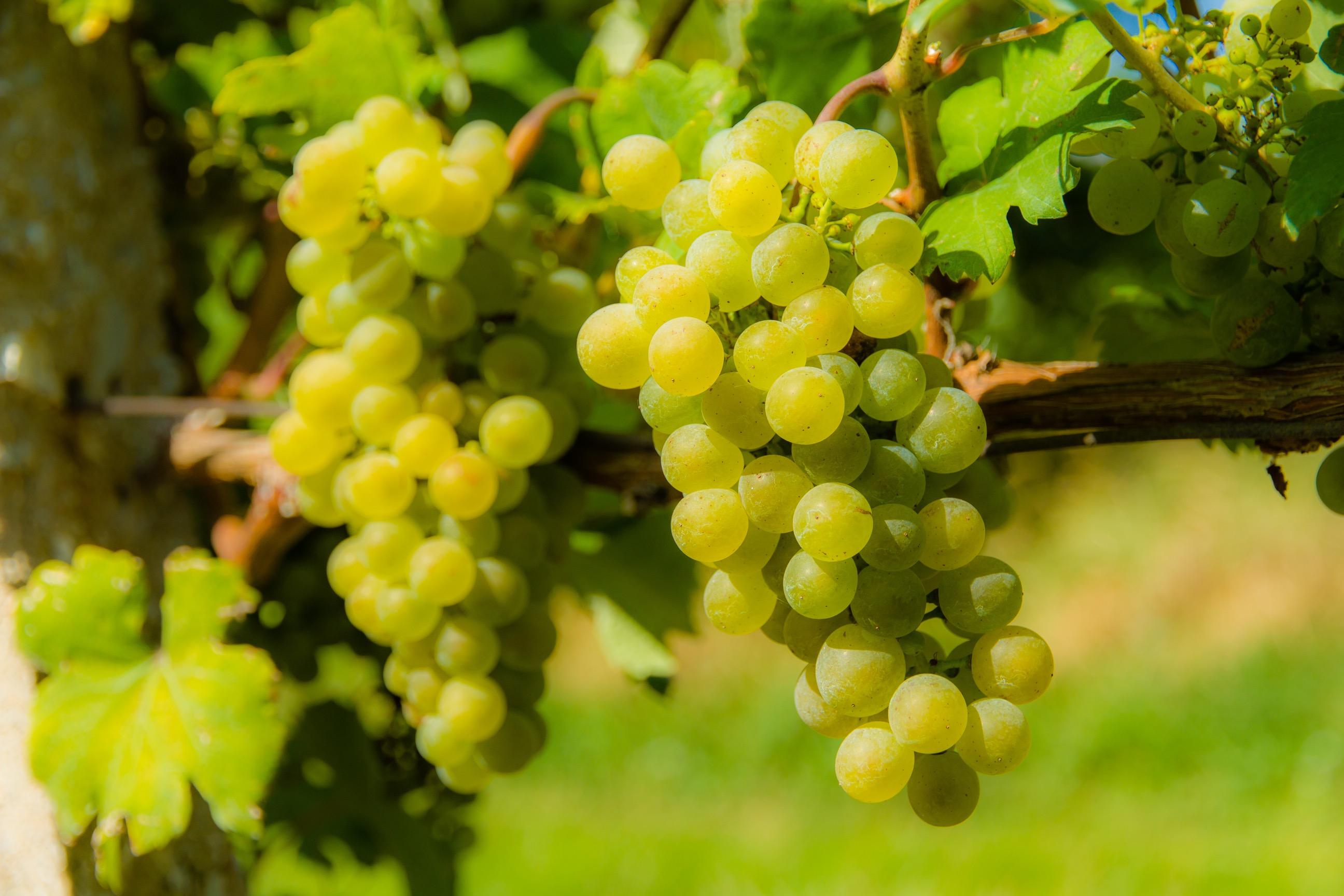 南アフリカワインの魅力とは?その歴史と特長について