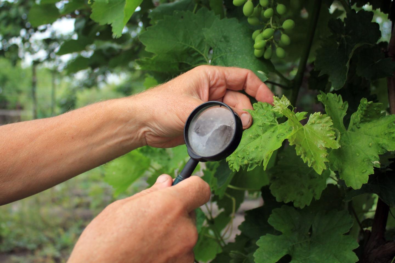 ワインの歴史を変えた!?ブドウの天敵!害虫「フィロキセラ」の恐ろしさ