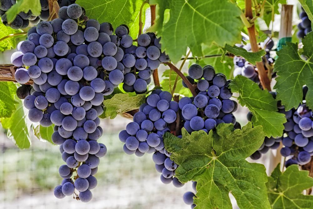 白ワインそれぞれ使われているブドウ品種は違います