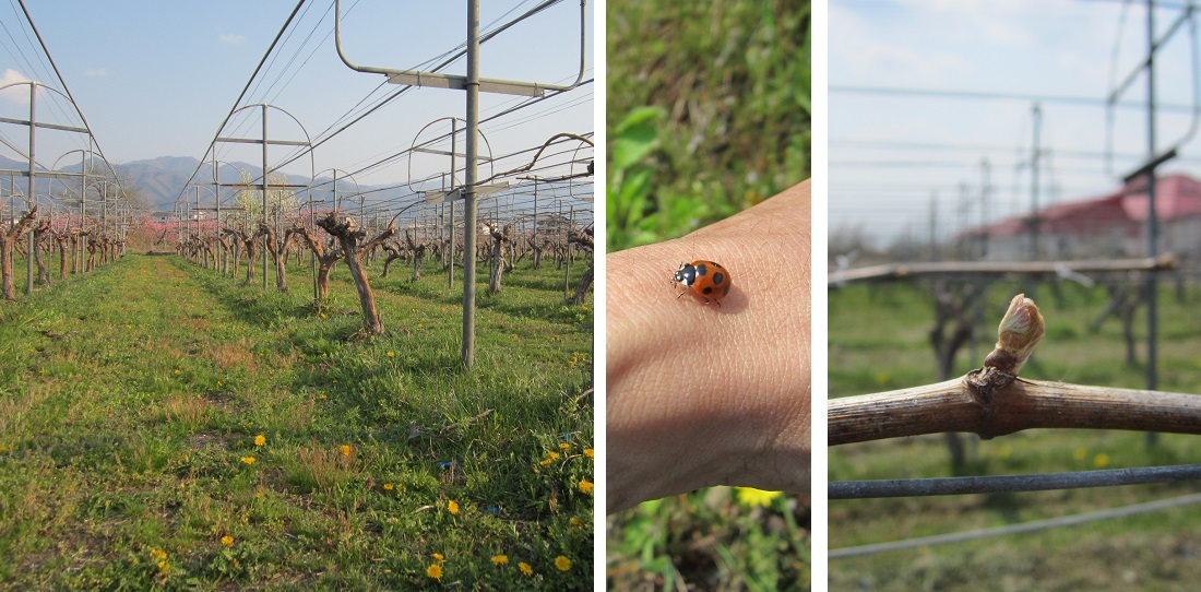 グランポレール 山梨県・勝沼ワイナリーの春のブドウ畑