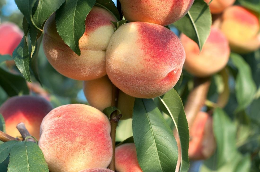 桃の樹に桃の実がなっている