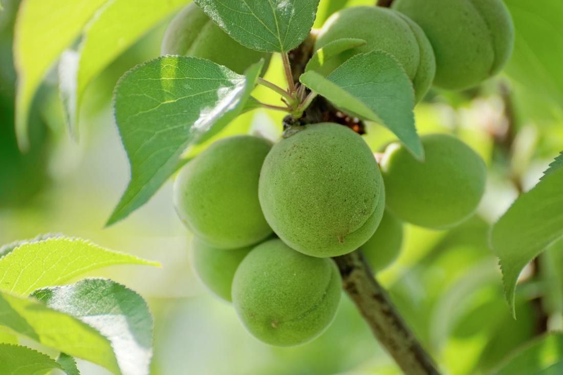 梅の樹になる梅の実