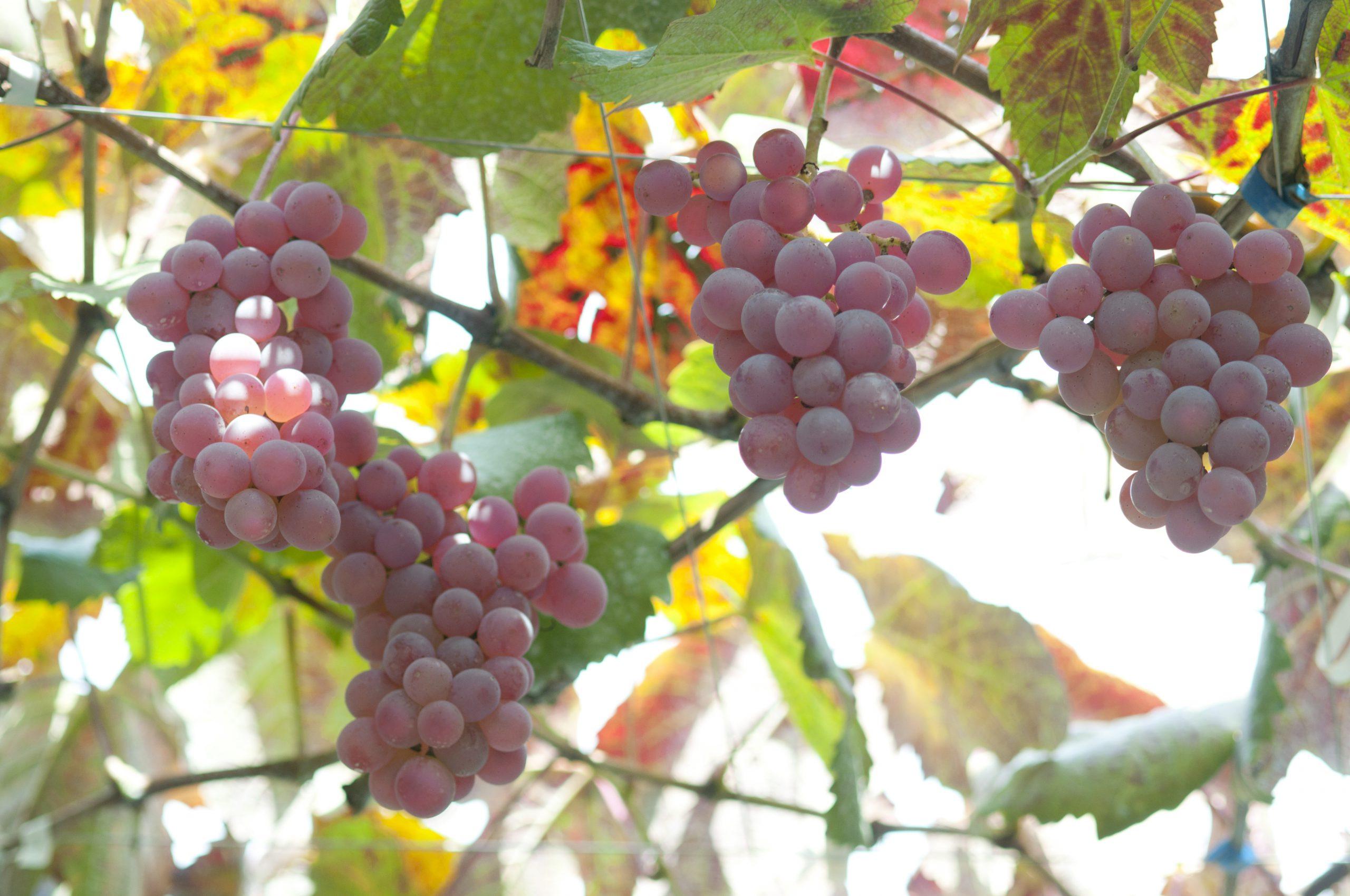 日本のワインといえば甲州ワイン!その魅力とは