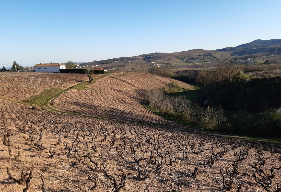 2020年3月ボージョレ地区のブドウ畑