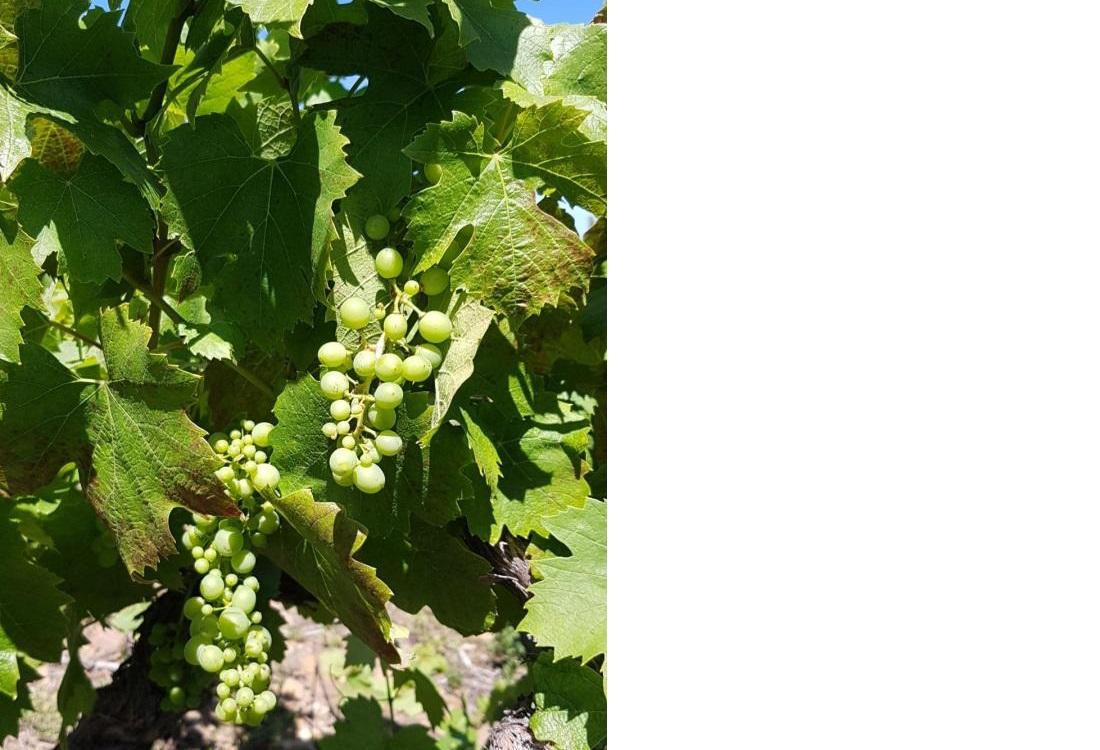 2020年5月ボージョレ地区のブドウの様子