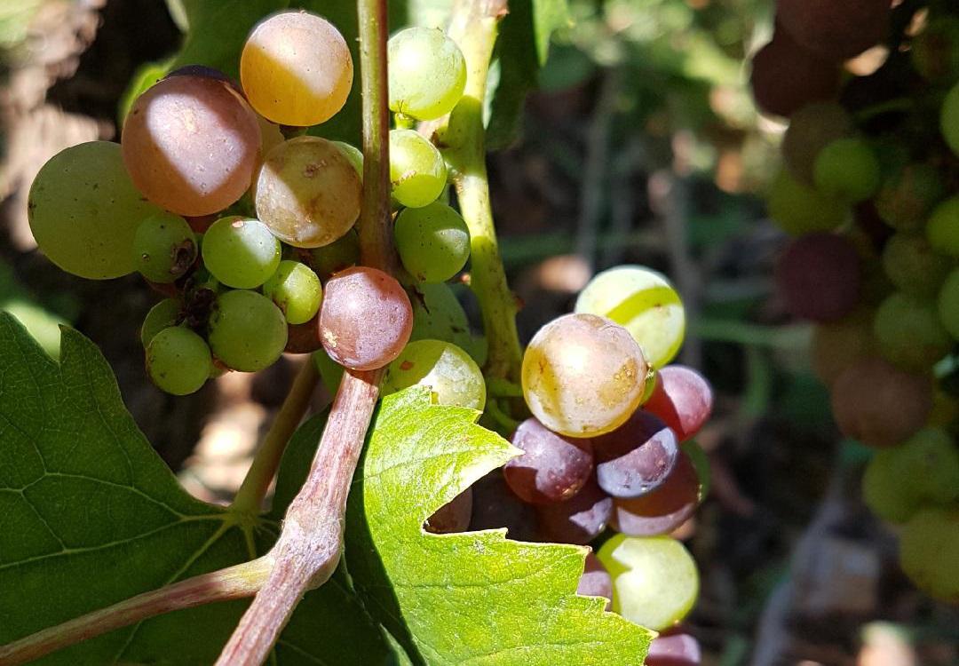 2020年7月ボージョレ地区の色付き始めたブドウの実