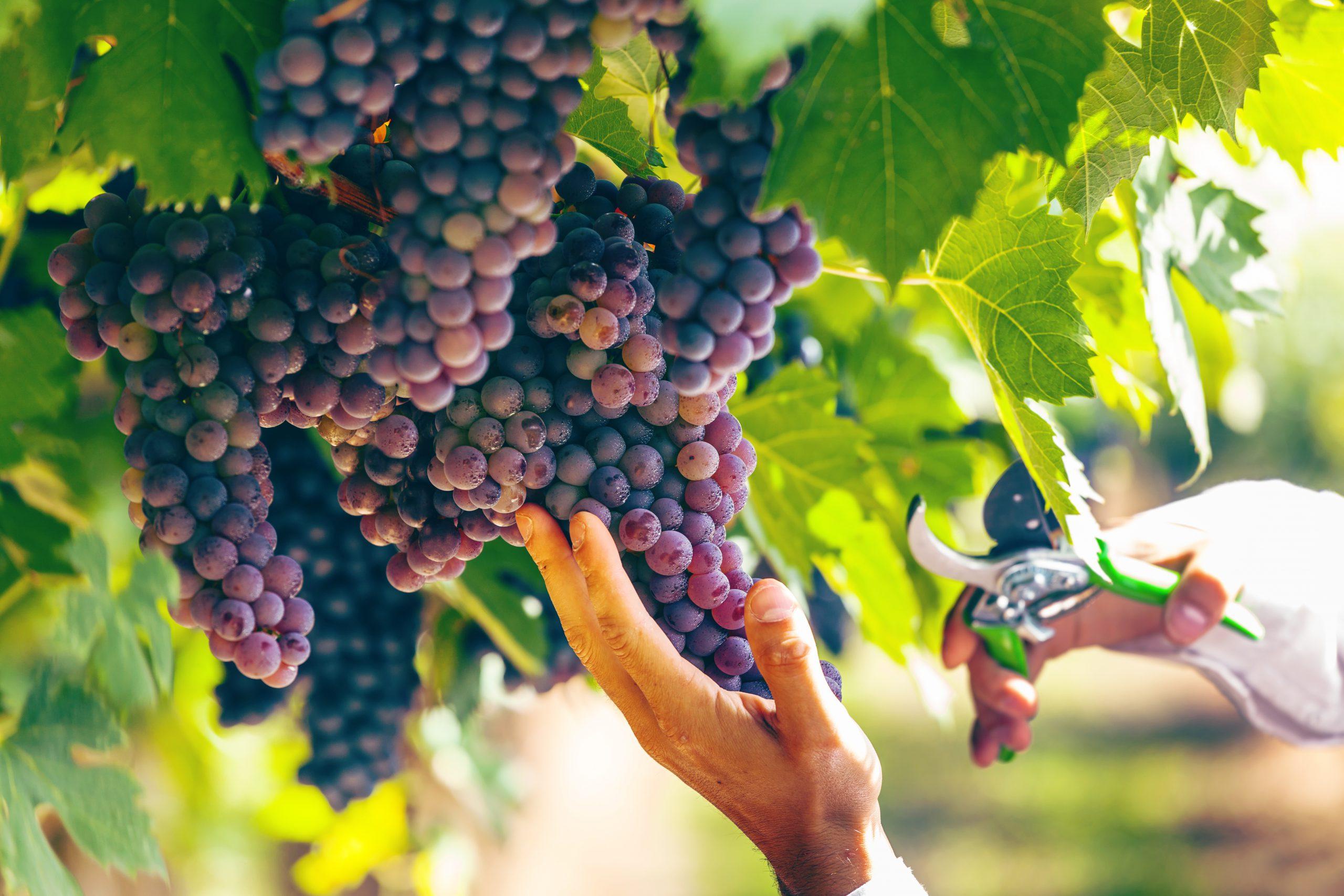 自然の恵みが詰まったワイン!オーガニックワインの味わいとは