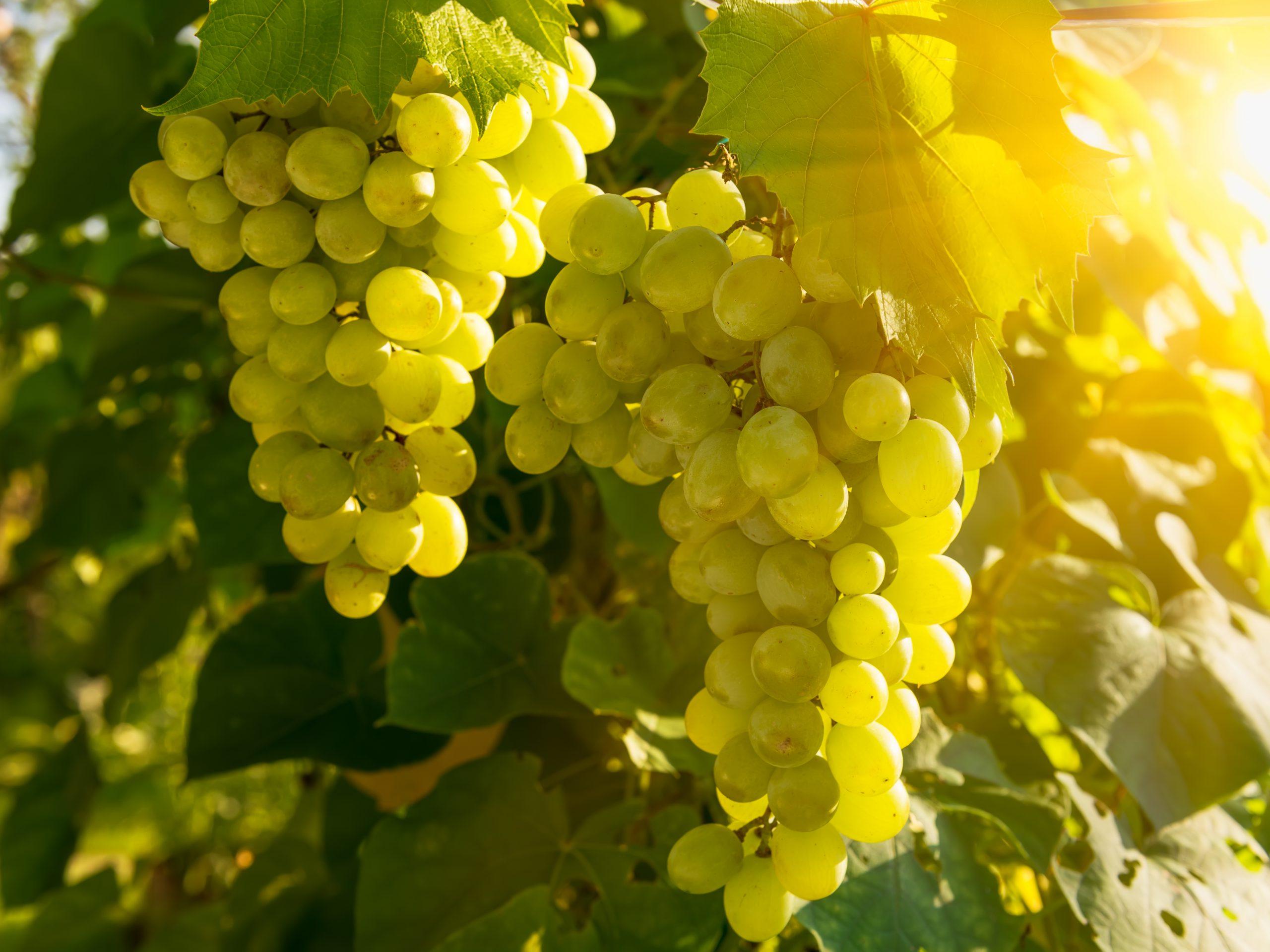 スペインで愛されている「コドーニュ・グループ」のワインをご紹介