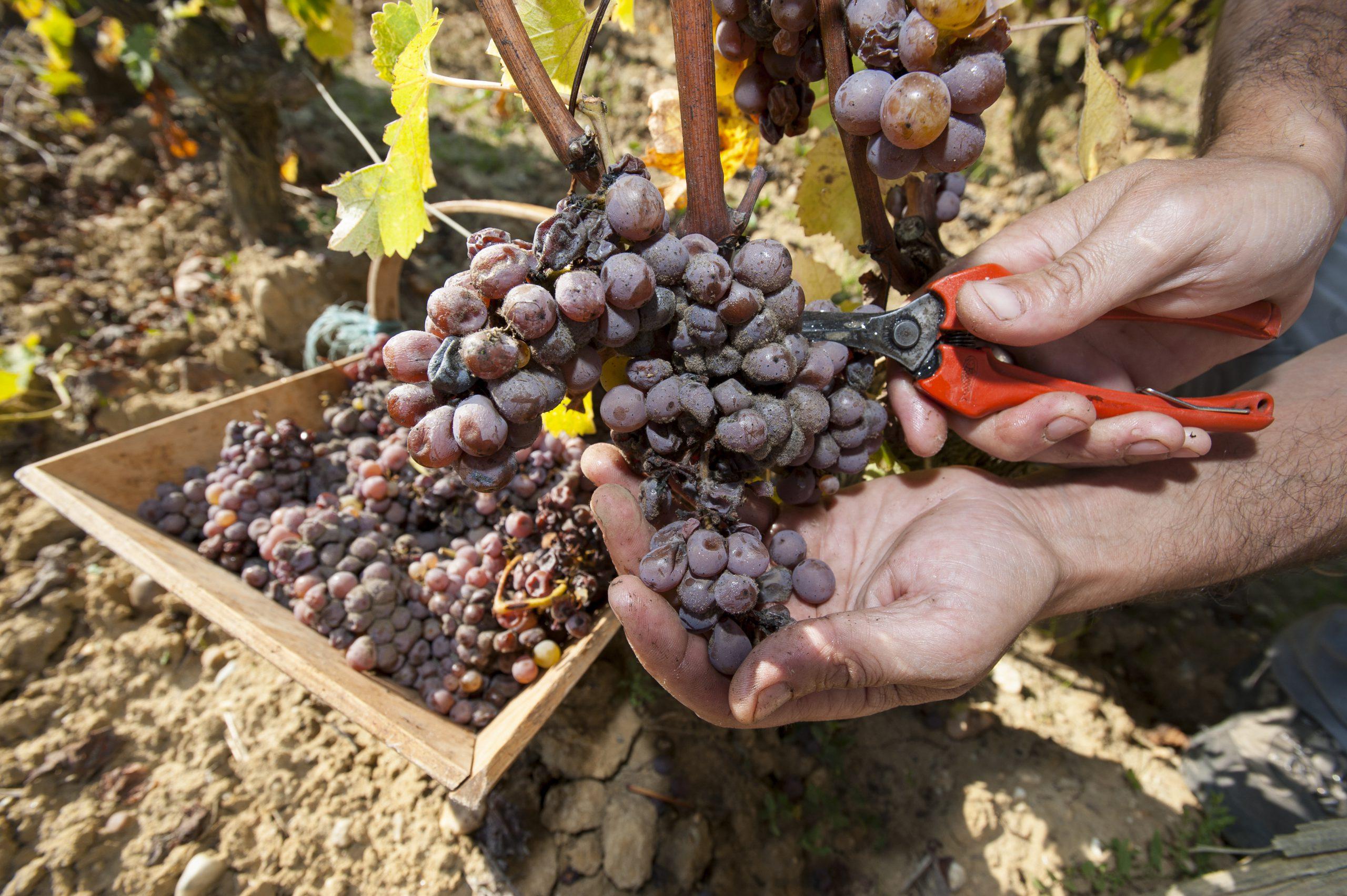 貴腐ワインが最高級ワインと呼ばれる理由は?極上の甘さの秘密もご紹介