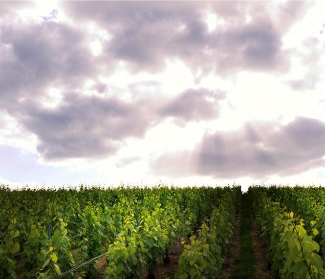 テタンジェの所有するシャンパーニュのブドウ畑