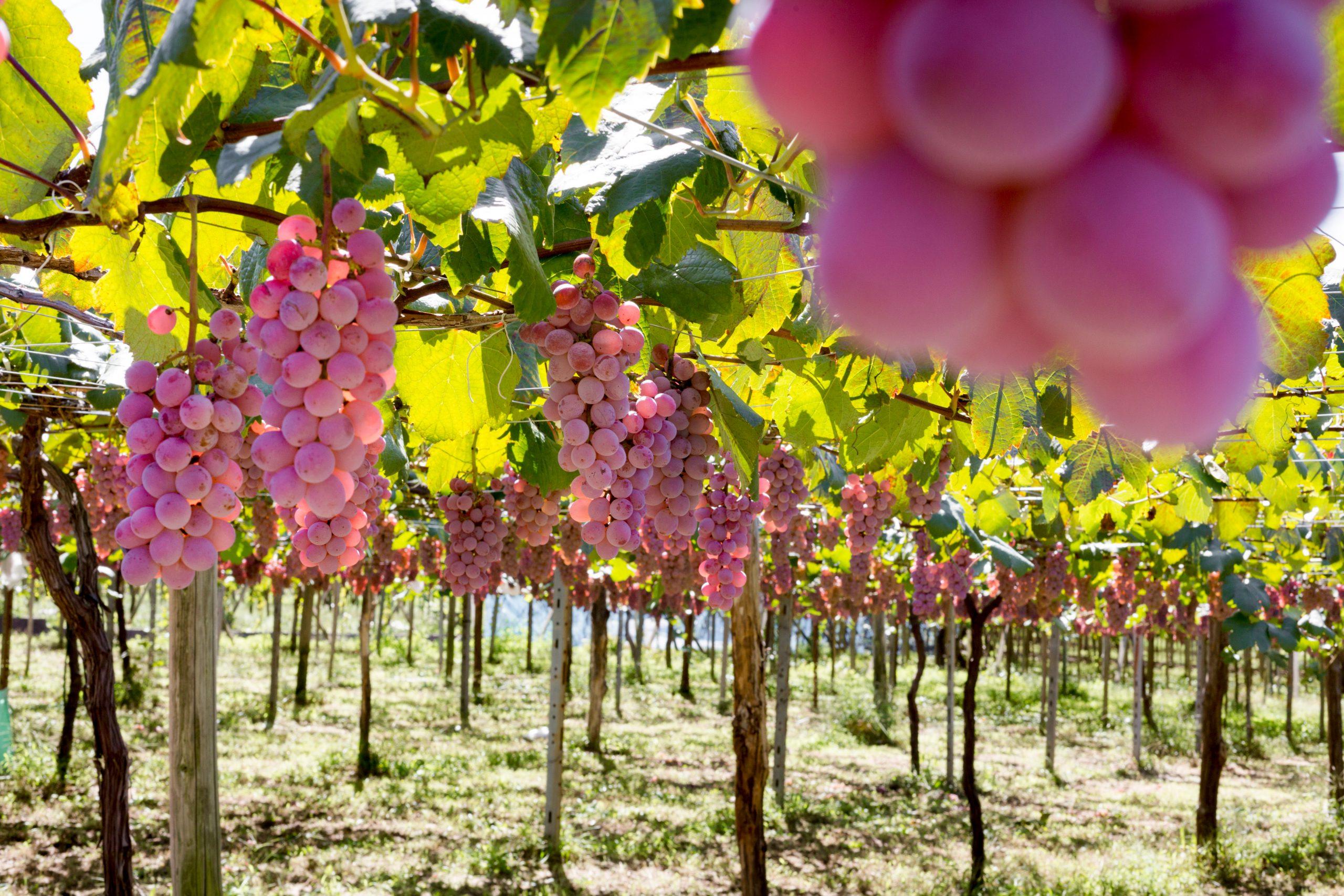 日本ワインの原点「山梨ワイン」の魅力