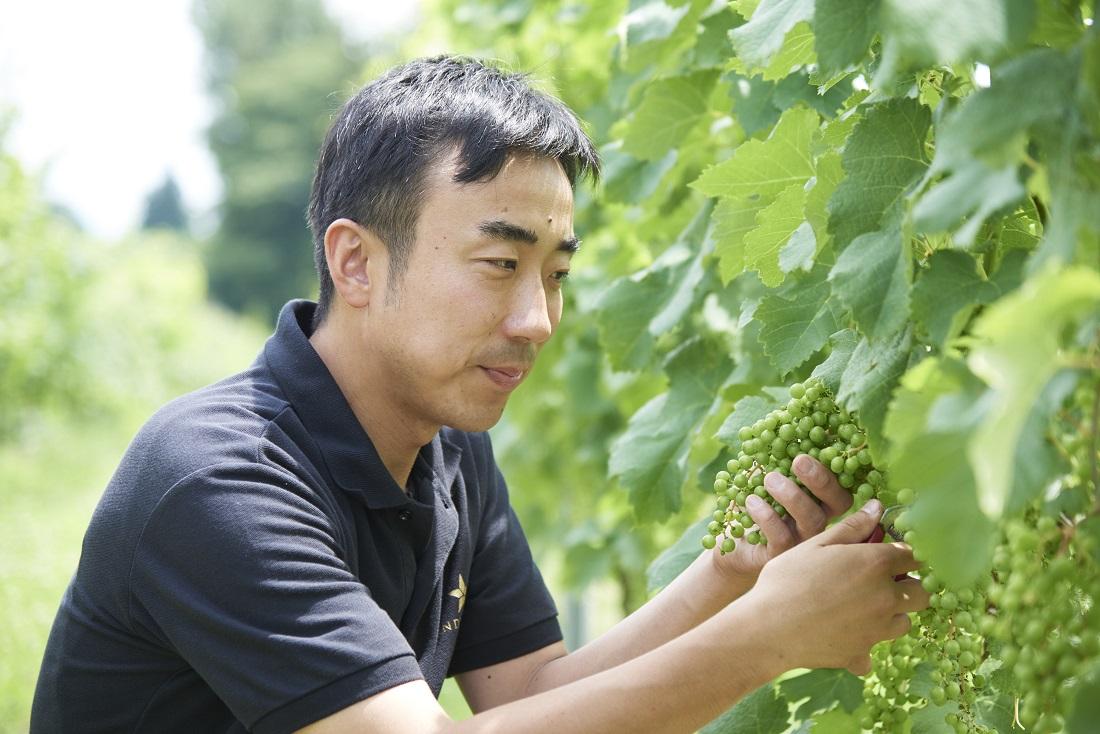 グランポレール 安曇野池田ヴィンヤードでブドウを確認する安曇野池田ヴィンヤード栽培責任者 石原大輔