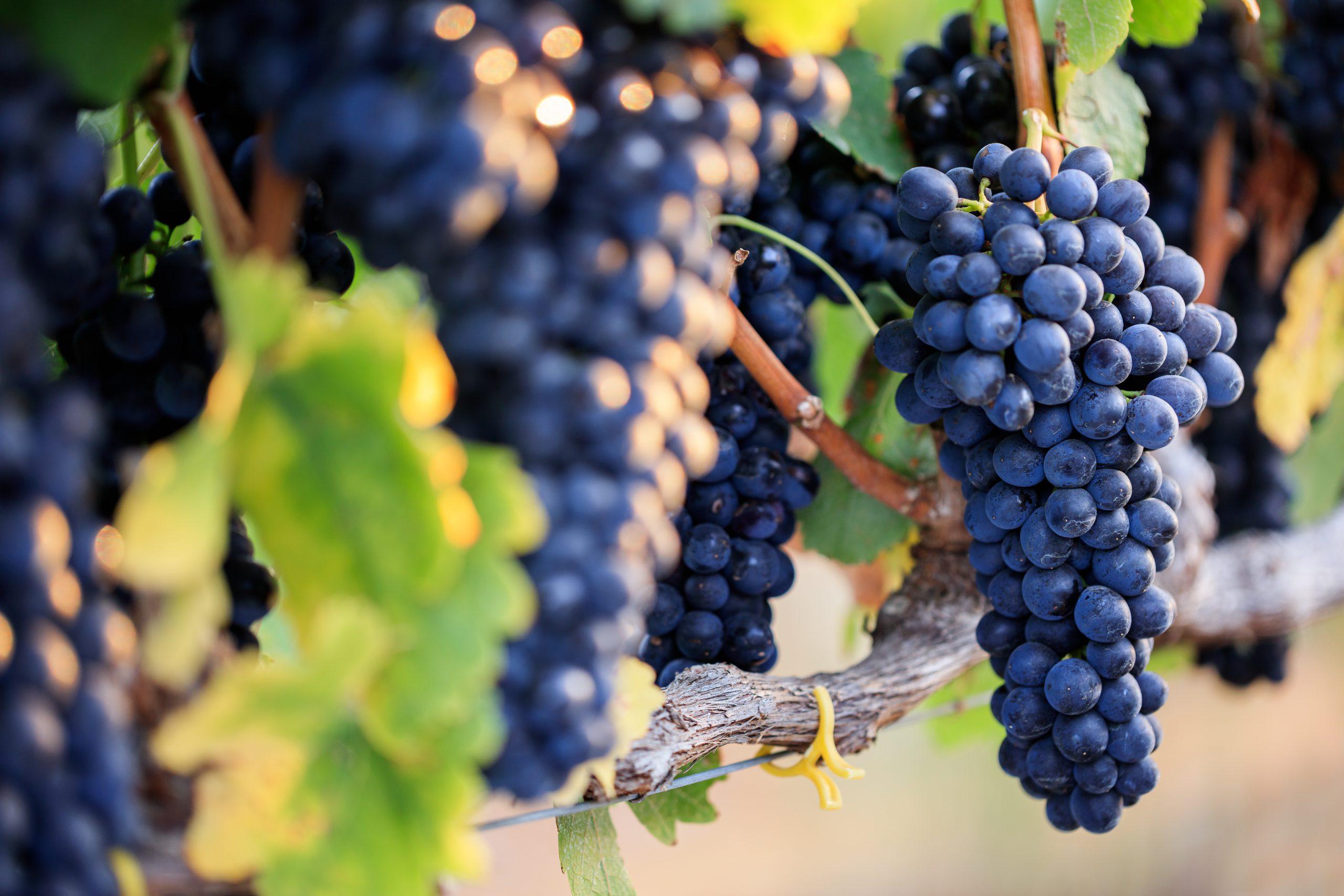 シラーズのワインを飲んでみよう!主な産地とおすすめワイン