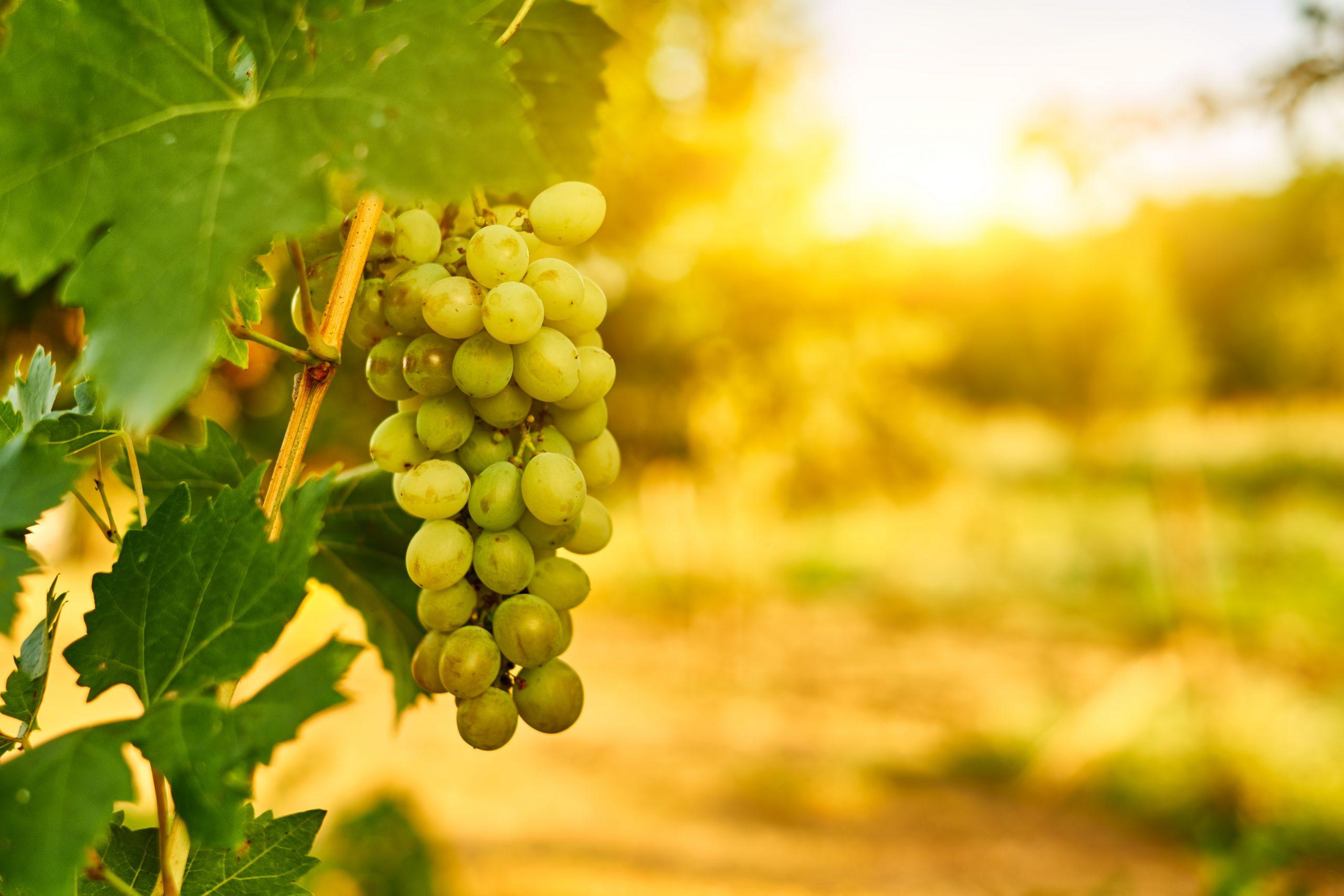 白ワインの種類の特長とおすすめワインを紹介