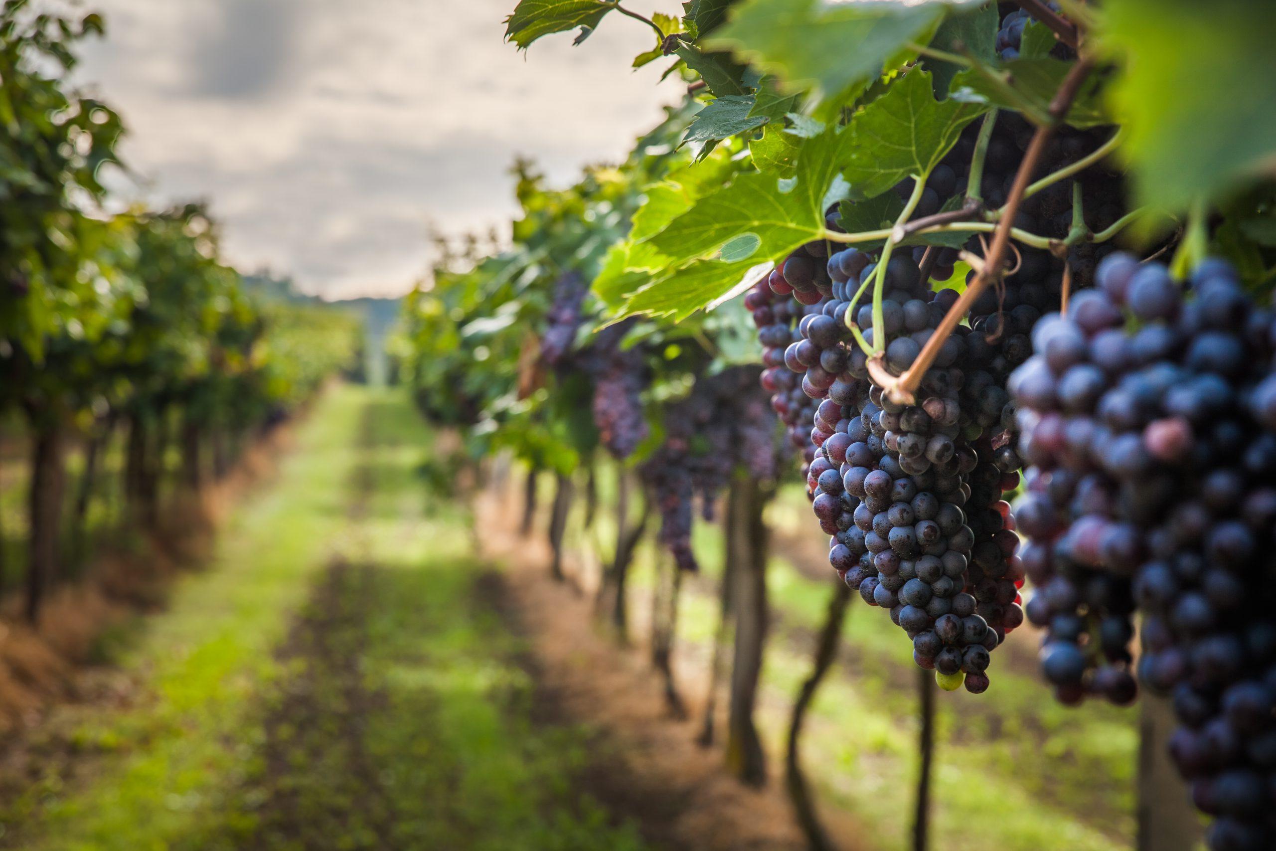 ①主要なブドウ品種を知る