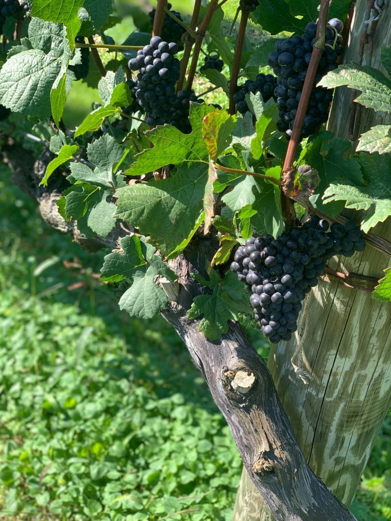ブドウ栽培家が熱く語る北海道・余市産のワイン!余市で栽培されているブドウ品種は?